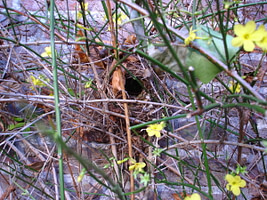 nest winterkoning