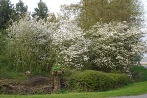 Krentenboompjes