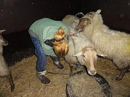 schapen - zintuigen tuin - heerhugowaard